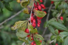berberitze oder Sauerdorn, Beeren essbar